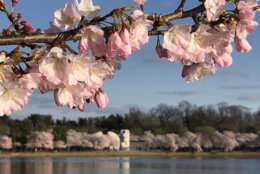 The cherry blossoms that line the Tidal Basin in D.C. reached peak bloom April 5, 2018 the National Park Service announced. (Courtesy National Park Service)