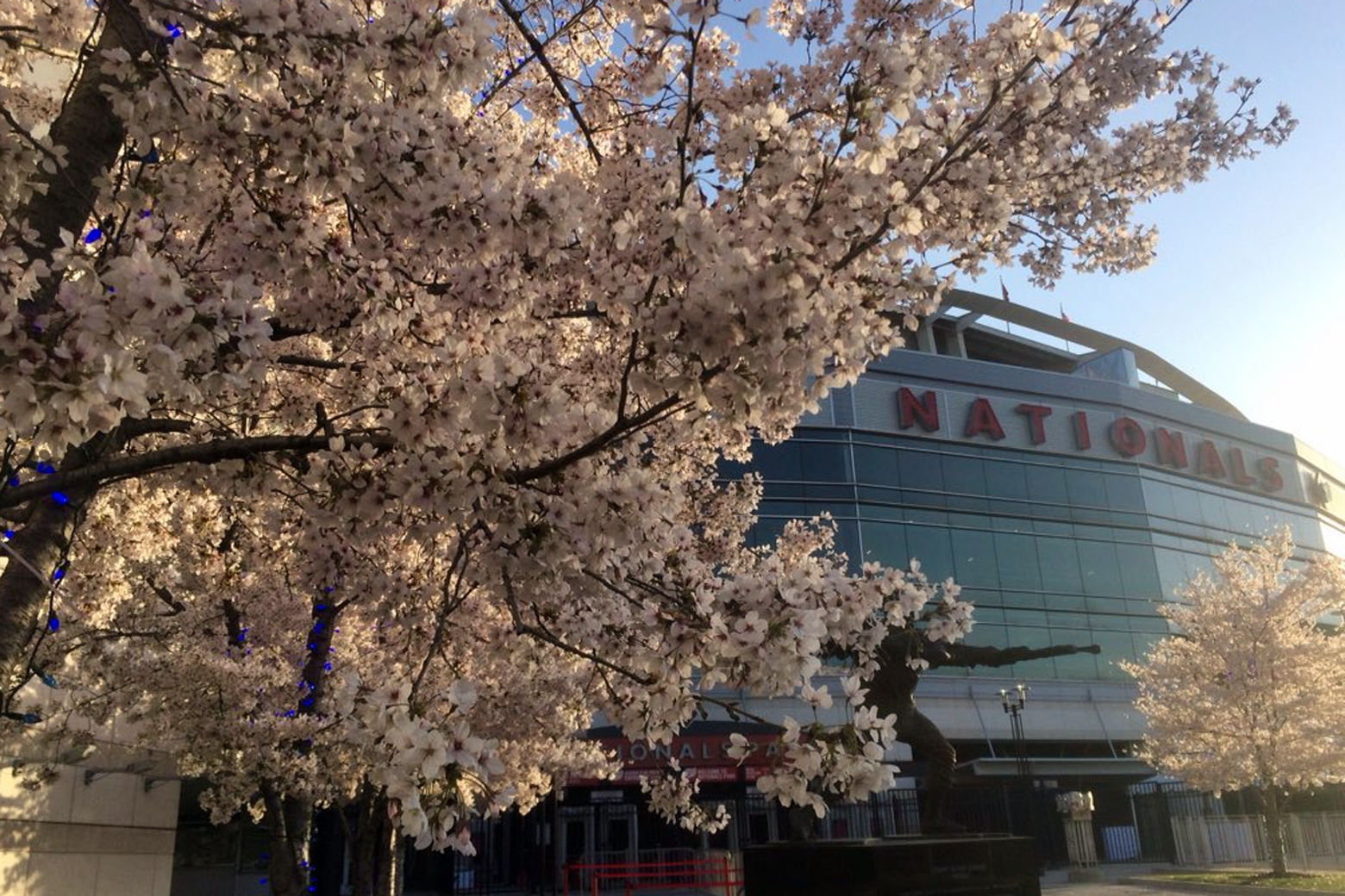 Cherry blossoms bloom outside Nationals Park Thursday ahead of the Nats' home opener against the New York Mets. (WTOP/Nick Iannelli)