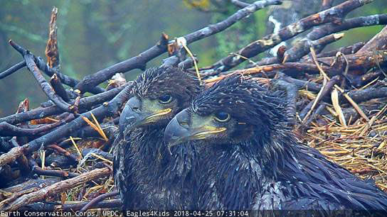 The eaglets Honor and Courage seen April 27, 2018. (Courtesy Earth Conservation Corps)