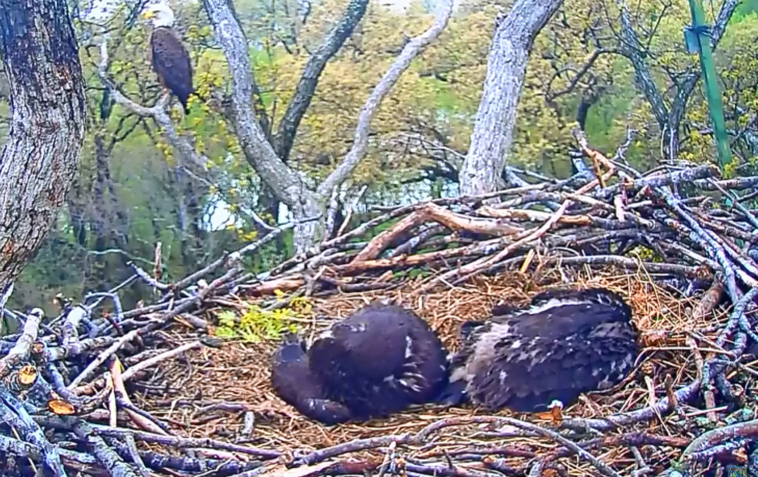 Honor and Courage napping April 27, 2018. (Courtesy Earth Conservation Corps)