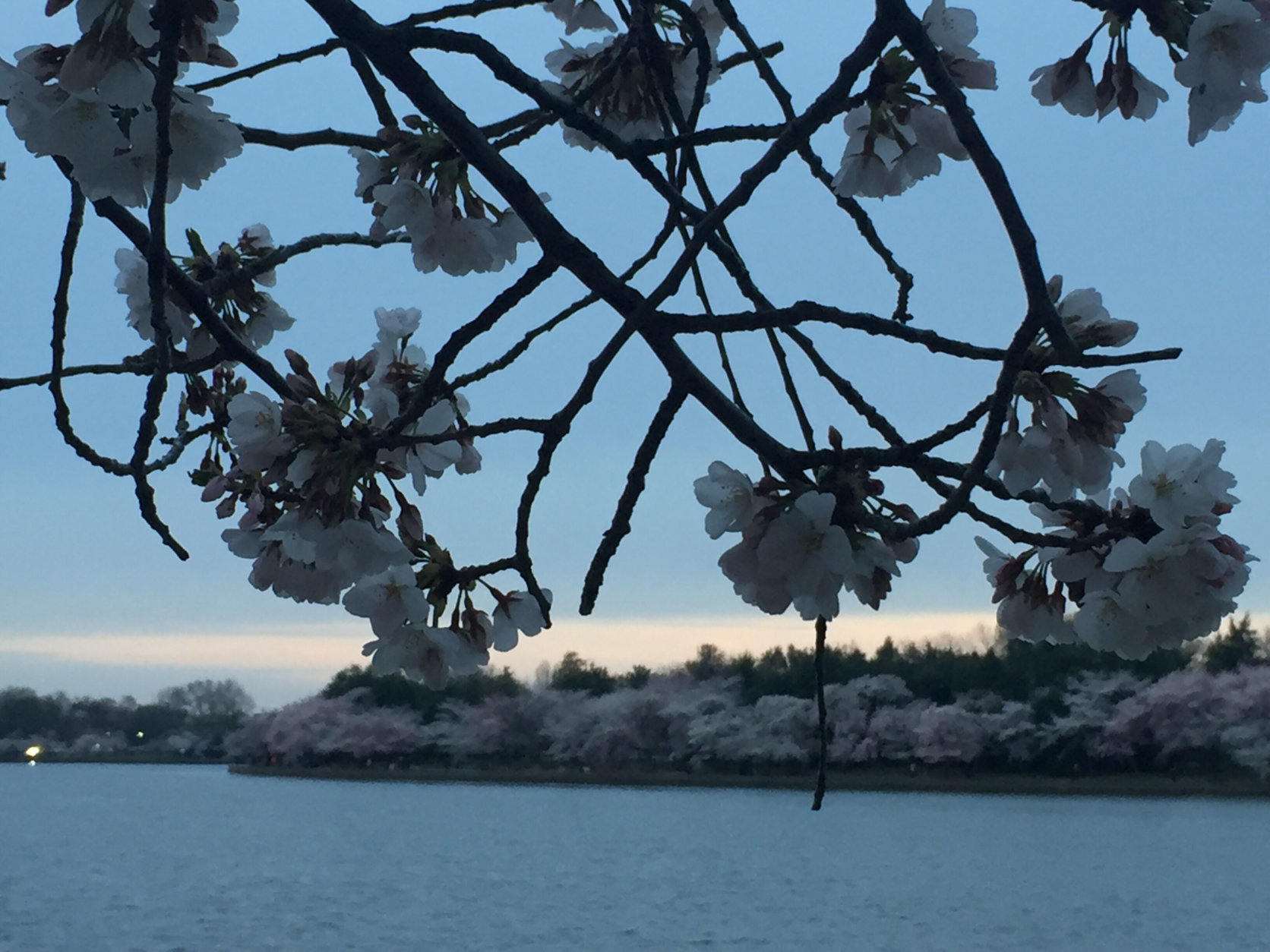 Cherry blossoms at the Tidal Basin. (WTOP/John Domen)