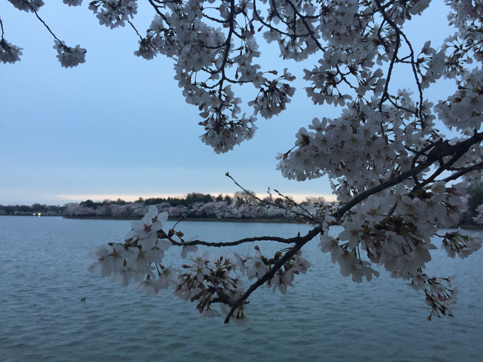 It's best to get to the Tidal Basin early to see the cherry blossoms. (WTOP/John Domen)