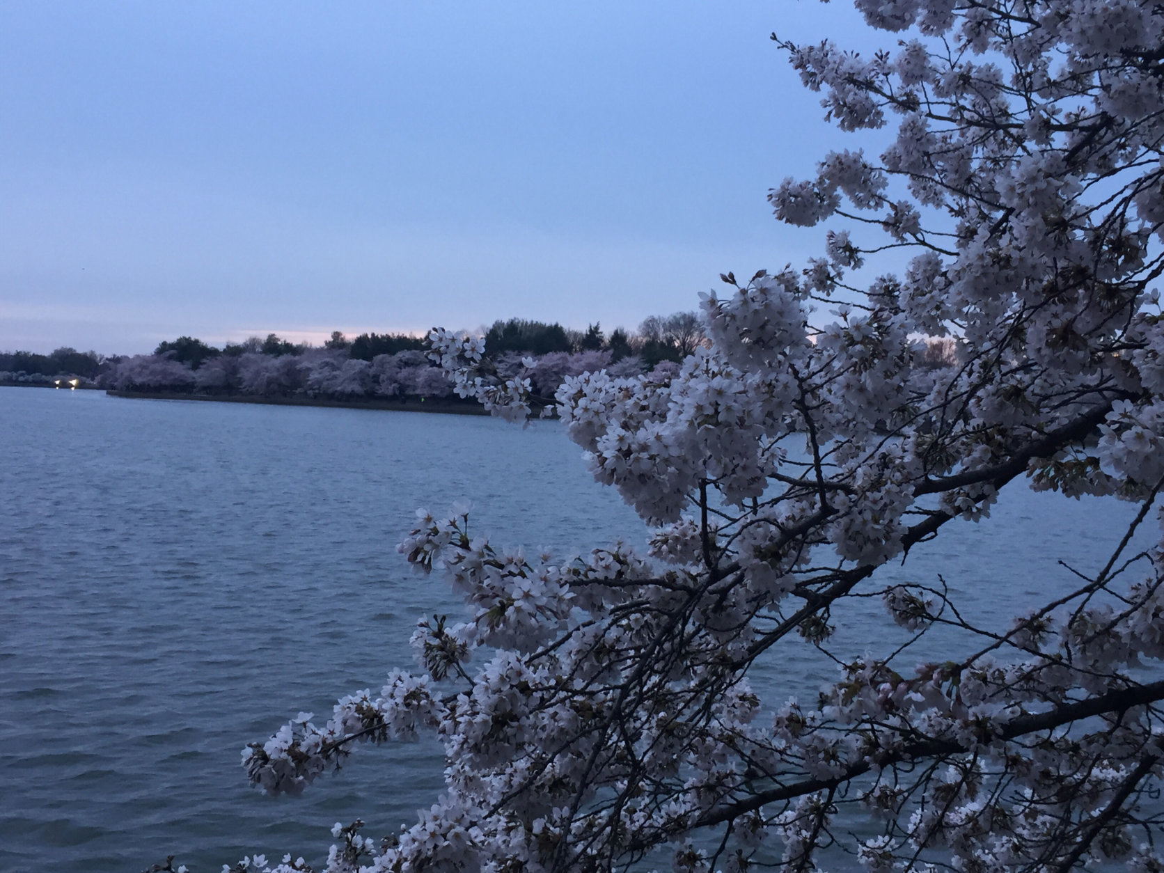 Cherry blossoms in full bloom at the Tidal Basin. (WTOP/John Domen)