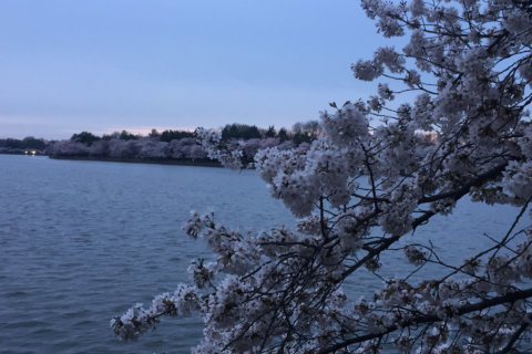 Now in peak bloom, cherry blossoms face wintry threat