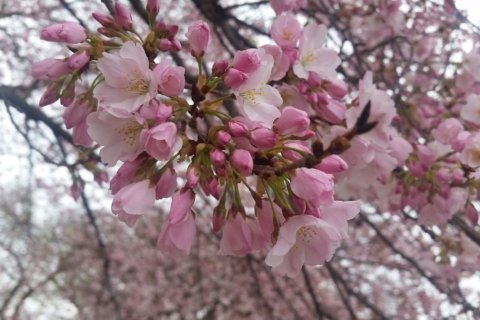 Despite snowy forecast, cherry blossoms advance to 'puffy white' stage