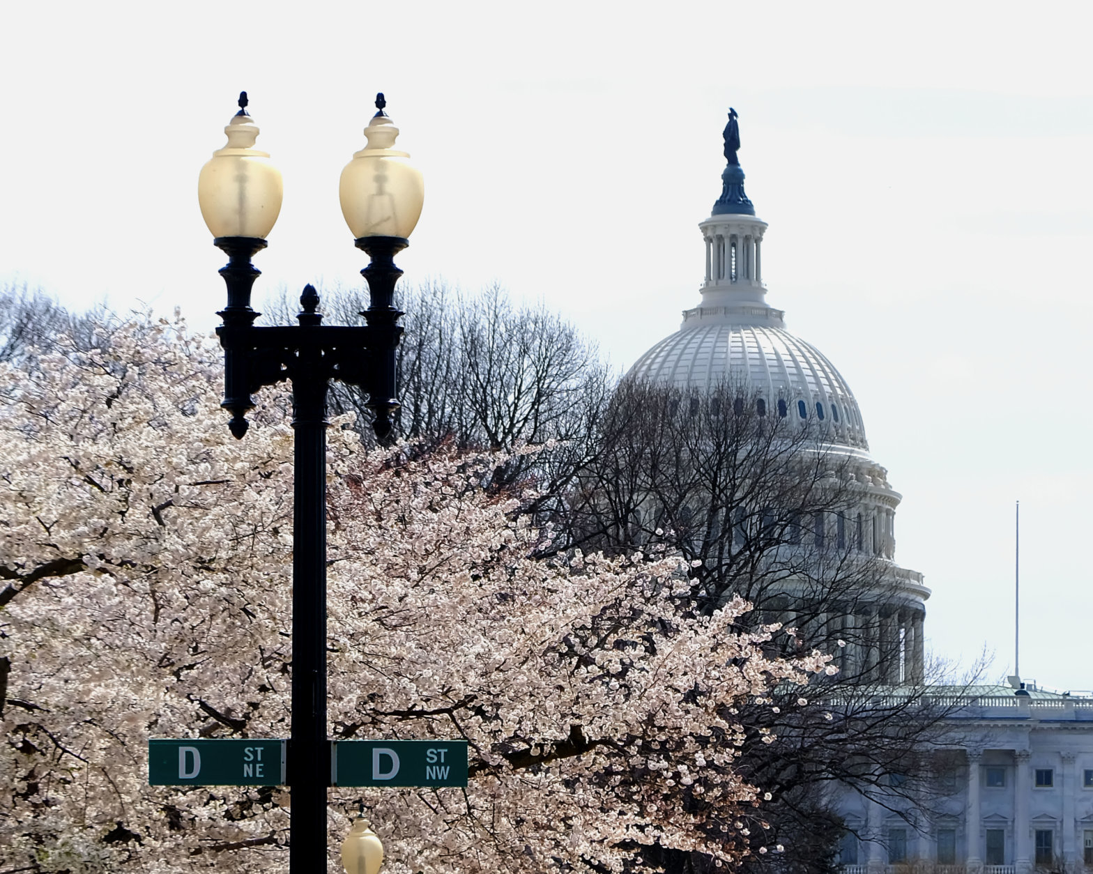 The U.S. Capitol is a backdrop against the fully bloomed cherry blossoms. (Courtesy Shannon Finney Photography)