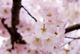 The D.C. Cherry Blossoms are nearing peak bloom. (Courtesy Shannon Finney/shannonfinneyphotography.com)