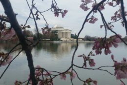 Because temperatures will not drop under 30 degrees, the cherry blossoms should be safe from any crucial damage, said Mike Litterst with the National Park Service. (WTOP/Kathy Stewart)