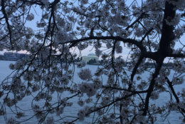 It's best to see the cherry blossoms early in the morning. (WTOP/John Domen)