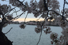 With traffic along Ohio Drive going one way during the cherry blossom festival, and parking sure to be at a premium as the day goes on, walking from any of the nearby Metro stations or taking the Circulator Bus to the Tidal Basin is the recommended way to visit. (WTOP/John Domen)