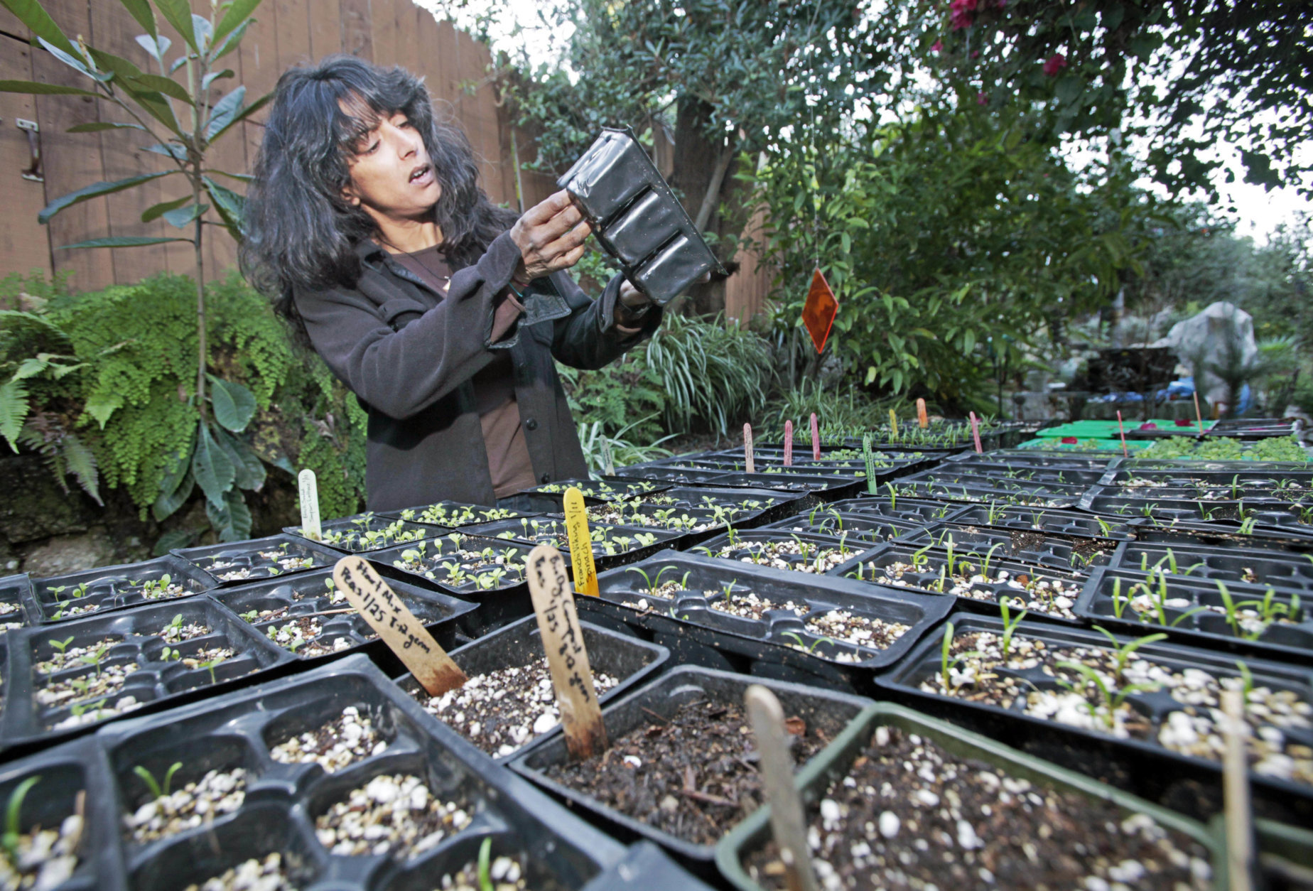 Tara Kolla examines a seedling container, amid other vegetable seedlings that will be planted this spring in the garden at her home in Los Angeles' Silver Lake district Wednesday, Jan. 27, 2010. Like many eco-minded gardeners, Kolla planted seeds, only to find that her garden violated local zoning laws and alienated her neighbors.  (AP Photo/Reed Saxon)