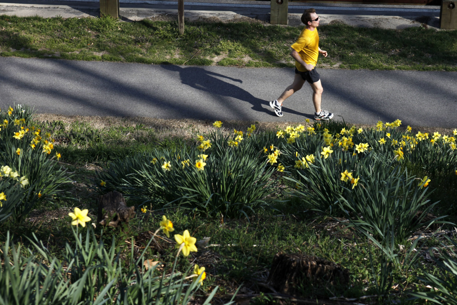 A man runs past blooming daffodils along Rock Creek Park in Washington, on Tuesday, March 13, 2012. (AP Photo/Jacquelyn Martin)