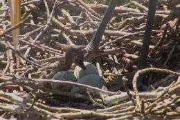 On Thursday afternoon, two great blue heron chicks chipped their way out of their eggs in a heron rookery on the Eastern Shore. Moments later, a peregrine falcon chick hatched on the roof of the Transamerica Tower in Baltimore, where its mother had deposited her eggs. (Courtesy Chesapeake Conservancy)