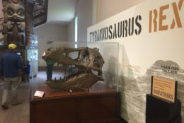 The skull cast pictured is from the Wankel T. rex, and its fossilized remains will be put on display in the renovated fossil hall set to open at the National Museum of Natural History in June 2019. (WTOP/ Kristi King)