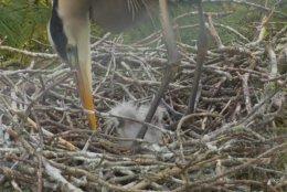 Checks on chick. (Courtesy Chesapeake Conservancy)