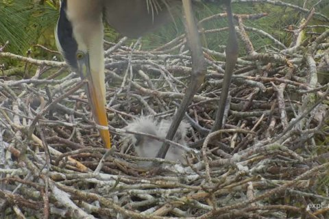 Live webcams capture baby birds busting out from Baltimore to the Bay
