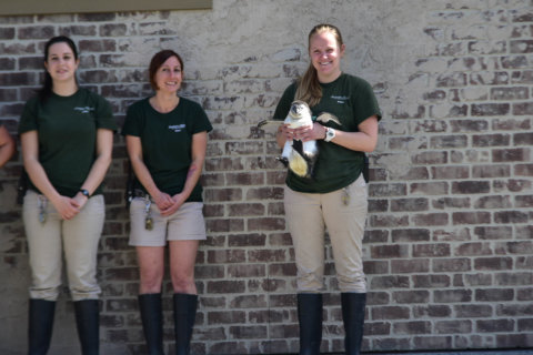 Happy feat: Maryland Zoo's 1,000th penguin chick gets a name (Photos)