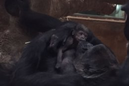 Calaya and her infant Moke in the Great Ape House at the Smithsonian's National Zoo. (Matt Spence, Smithsonian's National Zoo)