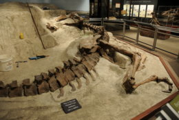 "First put on display at the Montana State University's Museum of the Rockies in 2005 in Bozeman, Montana, the Wankel T. rex was exhibited in the ""death pose"" from the riverbed where it died 656 million years ago. (Courtesy Museum of the Rockies)"