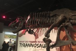 The current T. rex on display in the temporary dinosaur and fossil hall at the National Museum of Natural History is a resin copy of a real fossil. (WTOP/ Kristi King)