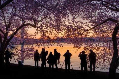 Fireworks for Cherry Blossom Festival, low temperatures threaten blooms