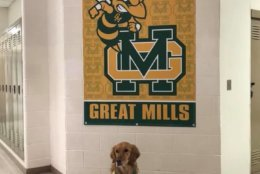 Comfort dogs from Lutheran Church Charities, in Illinois, met with staff on Monday, the day before before classes began at Great Mills High School. (Courtesy Lutheran Church Charities)