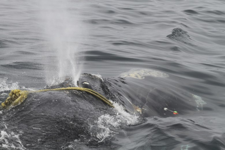 Researchers to keep working to free whale from fishing line wtop in this april 12 photo taken by lisa sette on stellwagen bank off of massachusetts a right whale known as kleenex is entangled in fishing gear voltagebd Gallery
