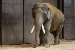 Smithsonian's National Zoo celebrated the debut of their new male Asian elephant Friday. (Courtesy National Zoo/Roshan Patel)