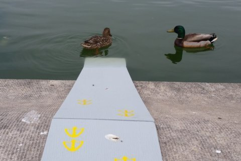 Ramps return to Capitol Reflecting Pool to help ducklings