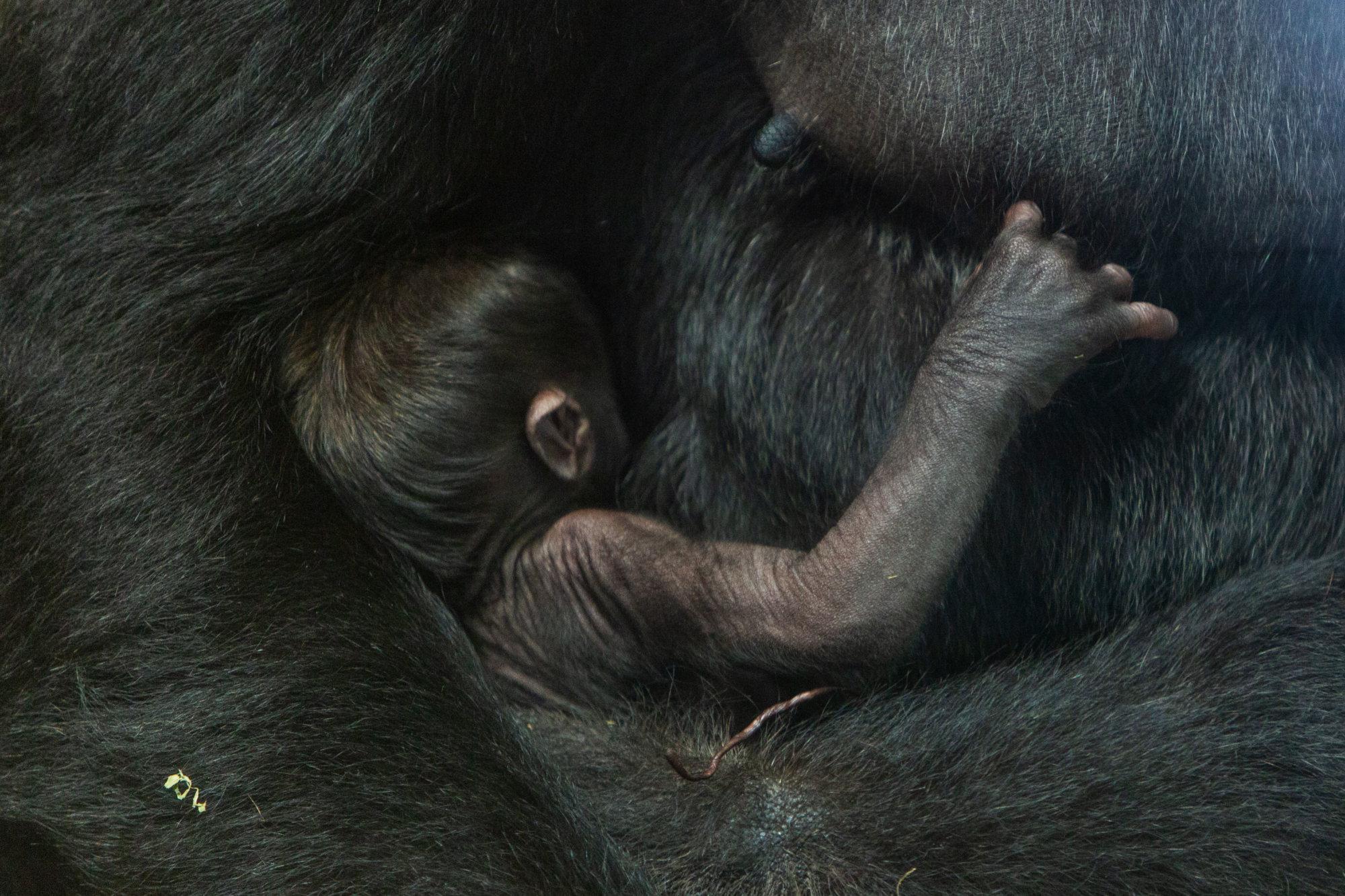 watch smithsonian national zoo welcomes baby gorilla wtop
