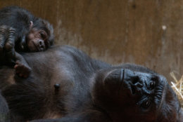 Calaya and her infant Moke in the Great Ape House at the Smithsonian's National Zoo. (Roshan Patel, Smithsonian's National Zoo)