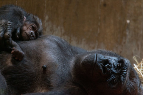 Video captures gorilla birth at National Zoo. It may be the most amazing thing you see today