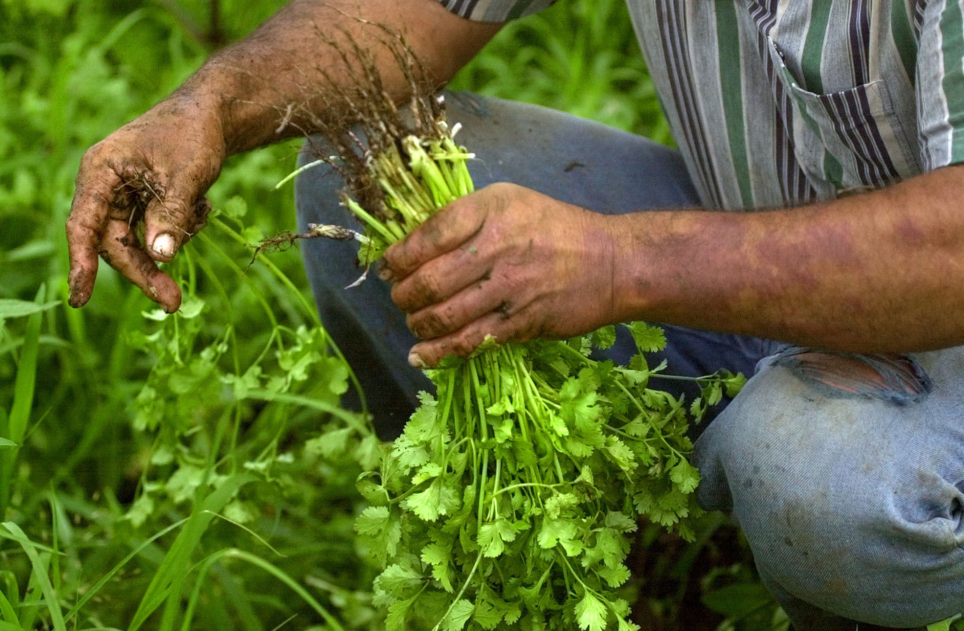 Costa Rican farmer Manuel Munoz harvests fresh cilantro to be sold at the local farmer's market on a small plot of land he rents outside San Jose, Costa Rica, Friday, May 9, 2003.  President Able Pacheco has recently promised increased aid for the country's agricultural sector through low intrest loans as one of the main goals of his presidency. Thousands of small scale farmers protested recently against a possible Free Trade Agreement between the United States and Central America, fearing it will leave them unable to compete against cheaply imported agricultural products. (AP Photo/Kent Gilbert)