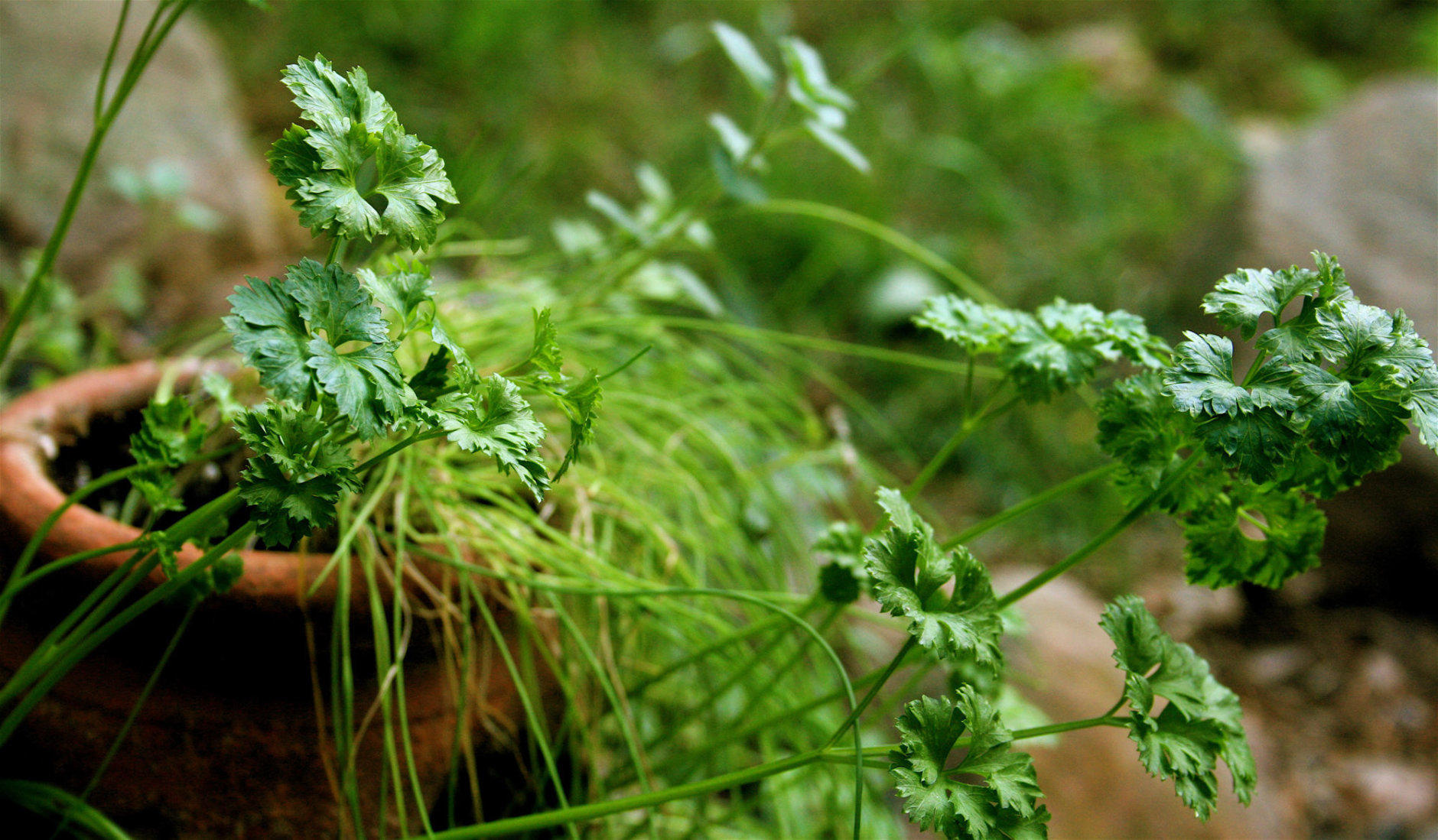 **FILE**  ** FOR USE WITH AP LIFESTYLES **  Fresh parsley is shown in this Oct. 7, 2007 file photo. Use fresh parsley as you would basil. Add it to tuna, salads, tabbouleh, pesto, bruschetta, gravy, or use with meat or potatoes.    (AP Photo/Dean Fosdick, FILE)