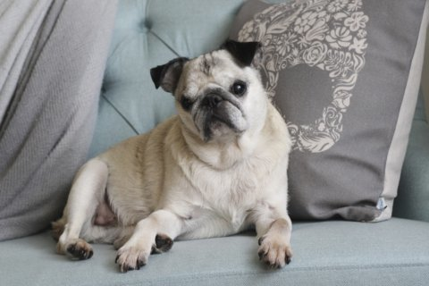 Blind, howling pug's apology to neighbor makes noise online