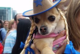 In celebration of Cinco de Mayo, chihuahuas were dressed up in festive clothes. (WTOP/Kathy Stewart)