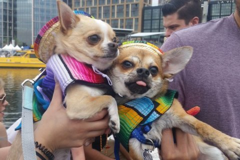 Chihuahua race raises money to save dogs from high kill shelters
