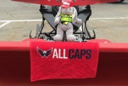 """After the Capitals' victory last night, the bunny wasn't giving up - the department tweeted this photo of it """"plowing through all possible leads"""" to finally be reunited with its human. (Photo courtesy of Arlington DES Twitter)"""