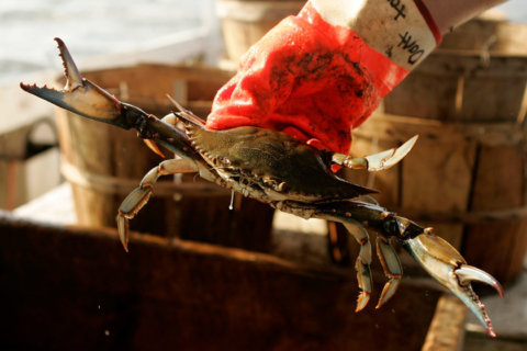 'Imminent' visas could help short-handed Md. crab plants