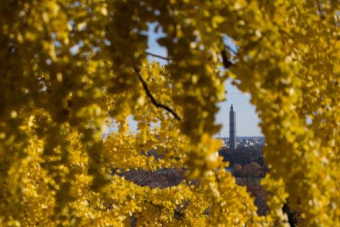 DC starts annual ginkgo tree spraying on Wednesday