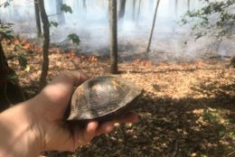 Two eastern box turtles would have been toast were it not for the quick thinking of Park Ranger Michael Ellis. (Courtesy Michael Ellis)