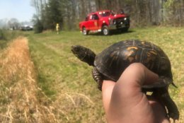 Two eastern box turtles were saved from a fire Wednesday by a Park Ranger. (Courtesy Michael Ellis)