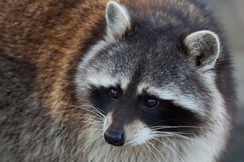 Rabid raccoons are back in Manhattan. Vaccinate your pets, health officials say
