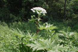 Giant hogweed can grow from 7 to 15 feet in height. (Courtesy Virginia Invasive Species)