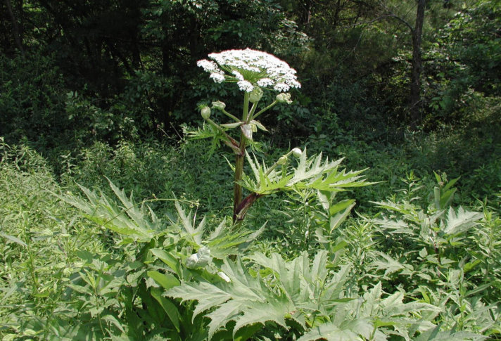giant hogweed a toxic plant you need to know about in va wtop