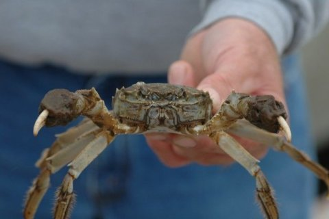 Invasive crab species in Md. wanted dead or alive