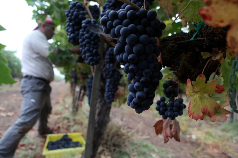 St Helena Ca September 25 Vineyard Worker Eziekel Pacheco Uses A Knife To Cut Zinfandel G From Vine At Tres Sabores Winery