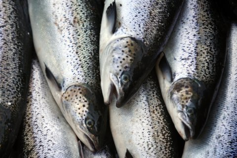 Investigation finds mislabeled seafood in Delmarva