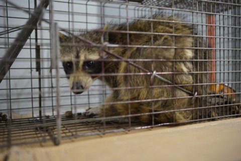 Anne Arundel Co. health officials alerted to rabid raccoon in Annapolis