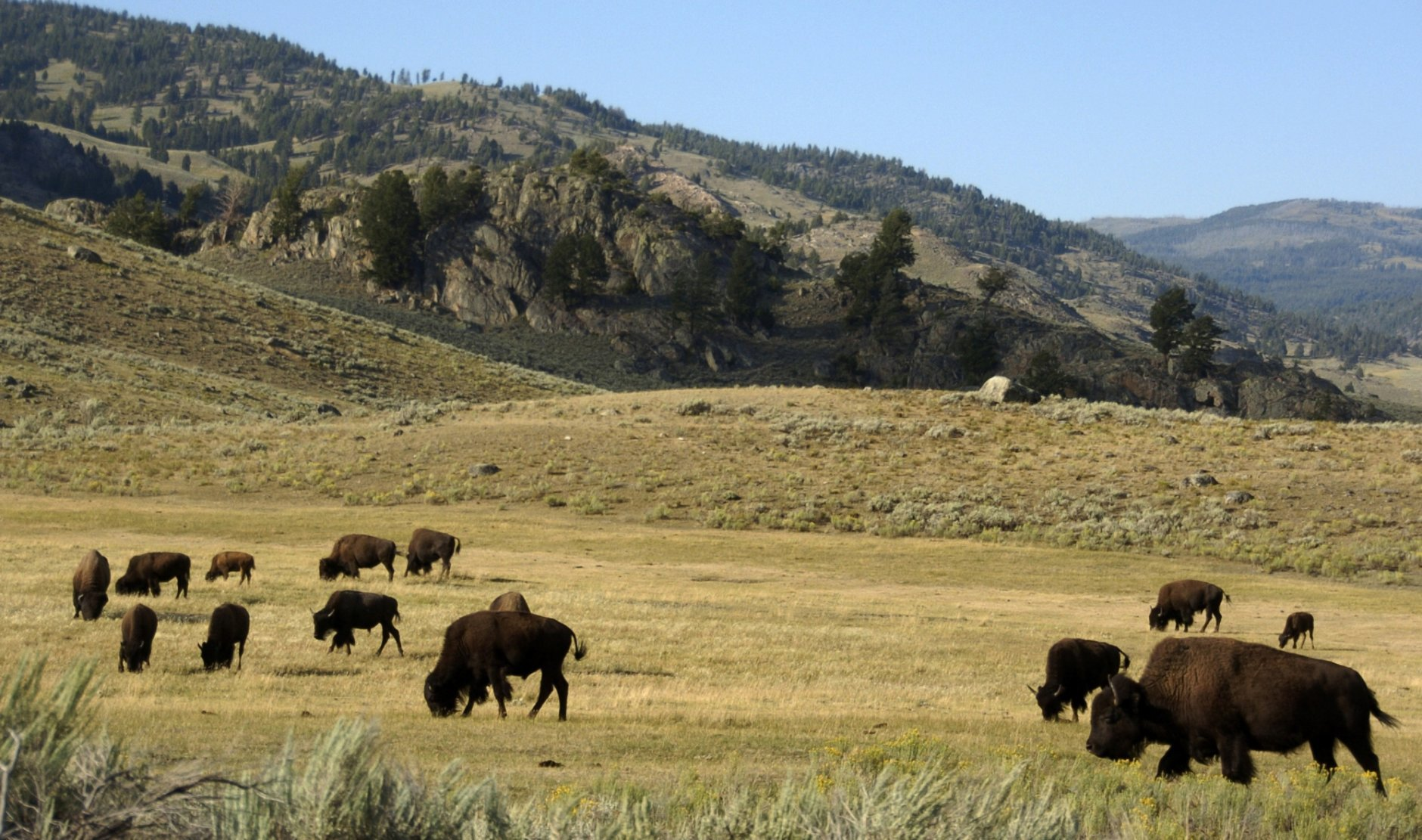 "FILE - In this Aug. 3, 2016 file photo, a herd of bison grazes in the Lamar Valley of Yellowstone National Park. A new superintendent was named Wednesday, June 13, 2018, to Yellowstone National Park, one of the crown jewels of the park system, after his predecessor said he was being forced out by the Trump administration following a dispute over bison. Cameron ""Cam"" Sholly will replace Dan Wenk, who has been superintendent since 2011, according to the Department of Interior.  (AP Photo/Matthew Brown, File)"
